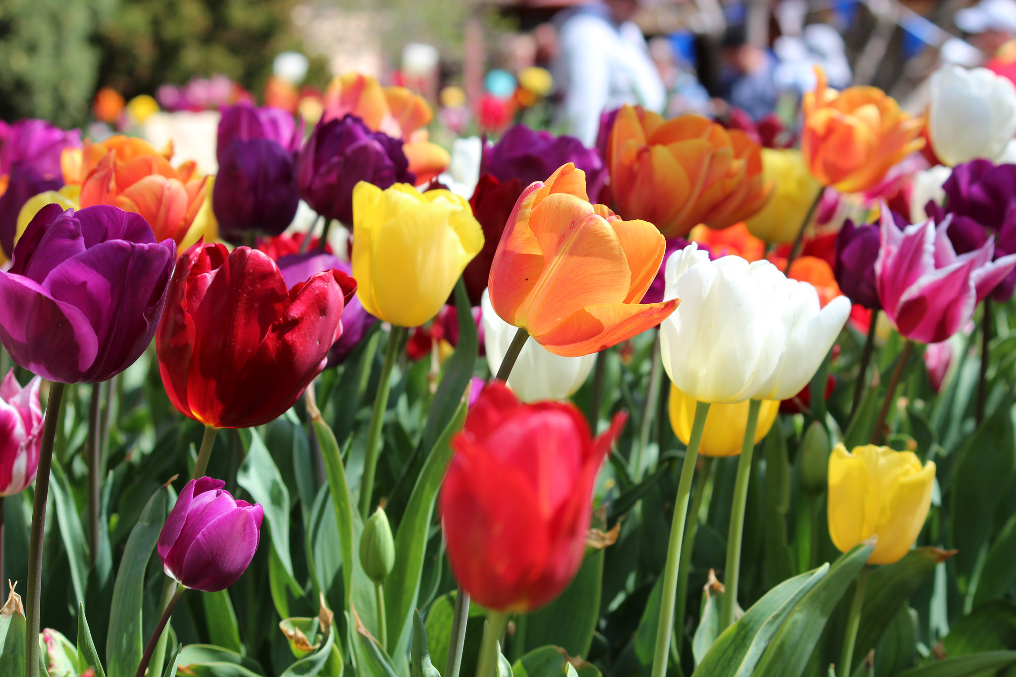 Council calls for 2018 Tulip Time charity partner