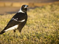 Magpie, canstockphoto©