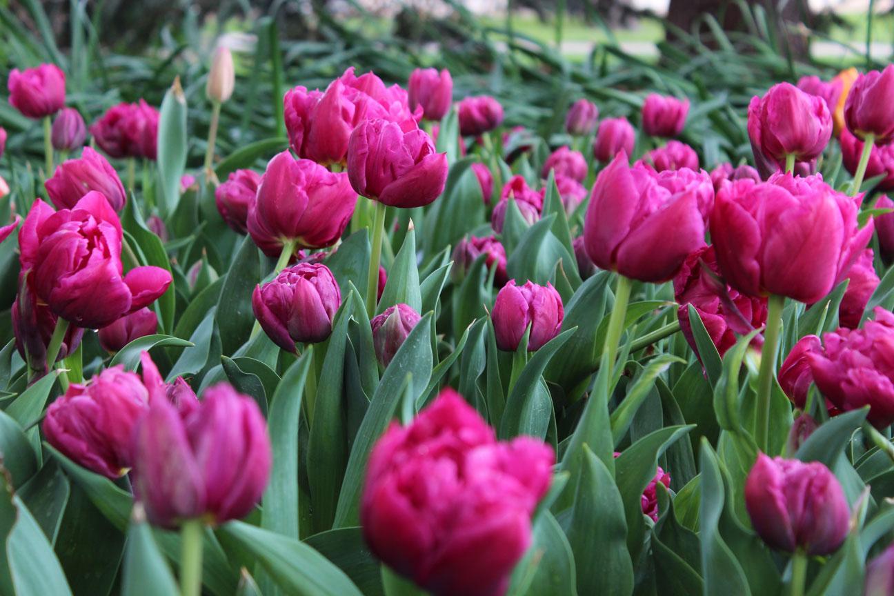 Tulip Time 2016