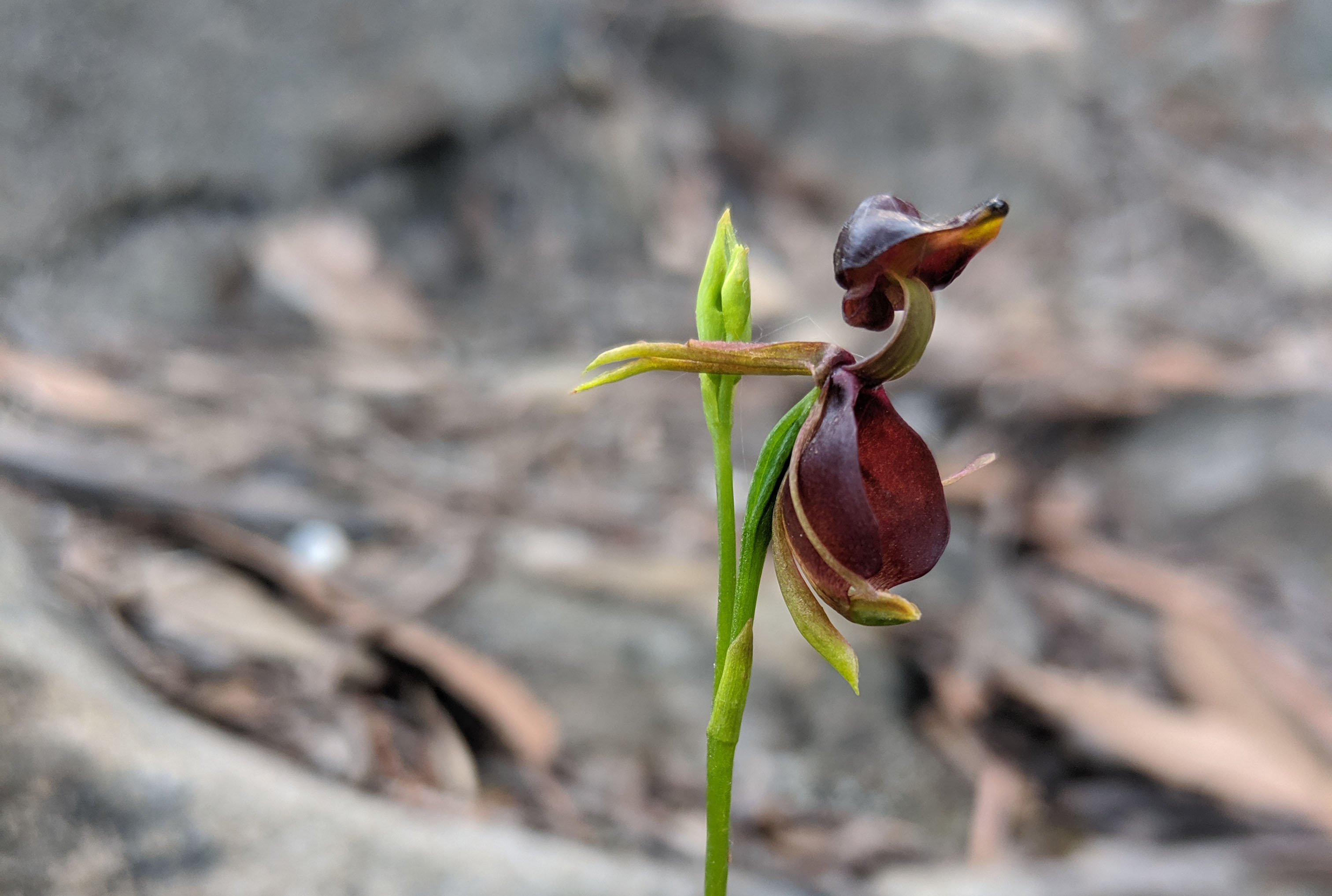 Flying Duck Orchid in Bundanoon