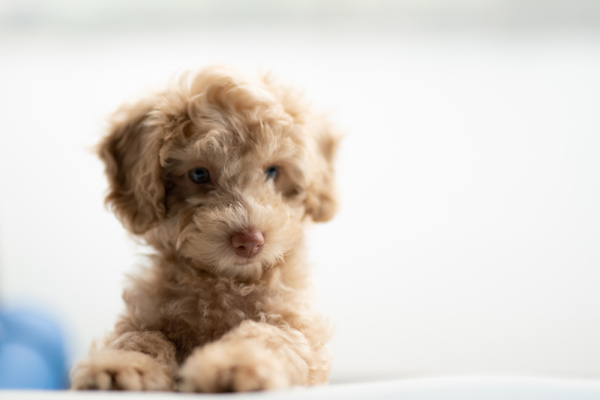 Head shot of blonde cavoodle puppy