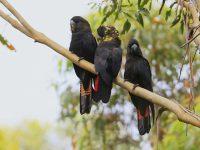 3 Glossy Black Cockatoo's on tree branch