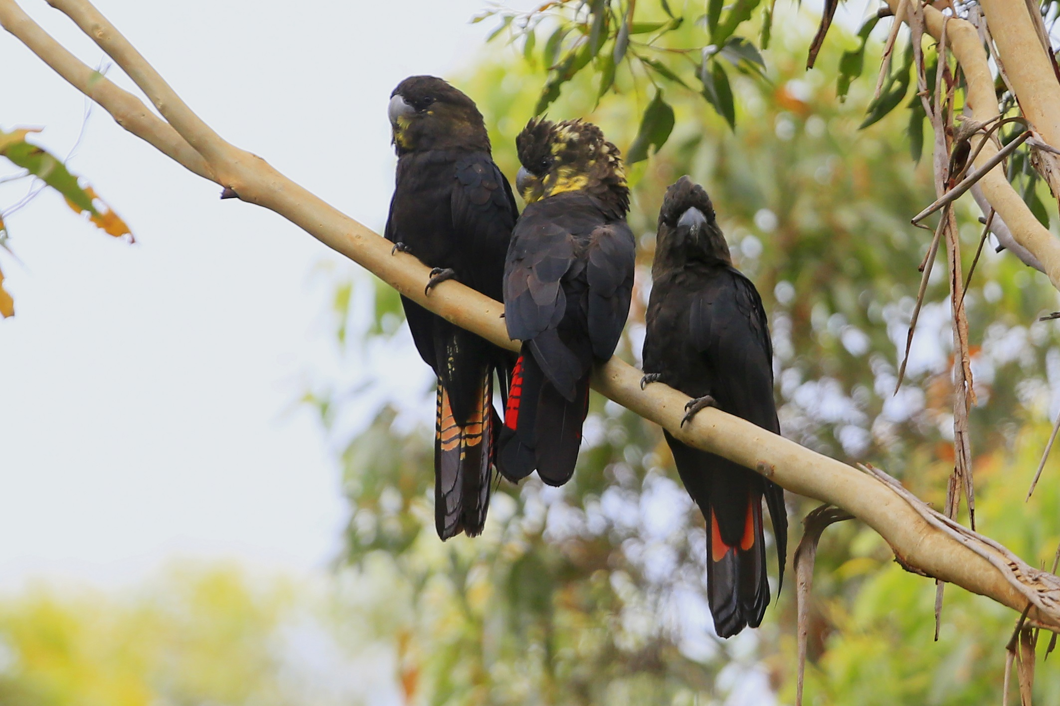 3 Glossy Black Cockatoo's on tree branch