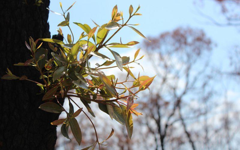 New growth on burnt tree